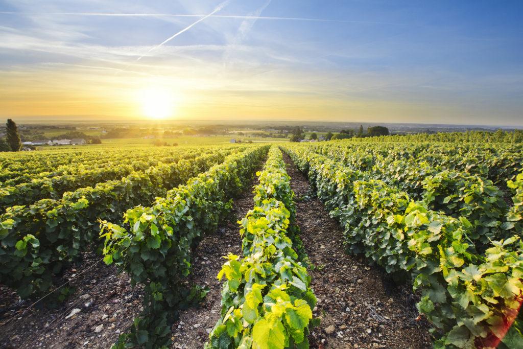 vingårder i Beaujolais