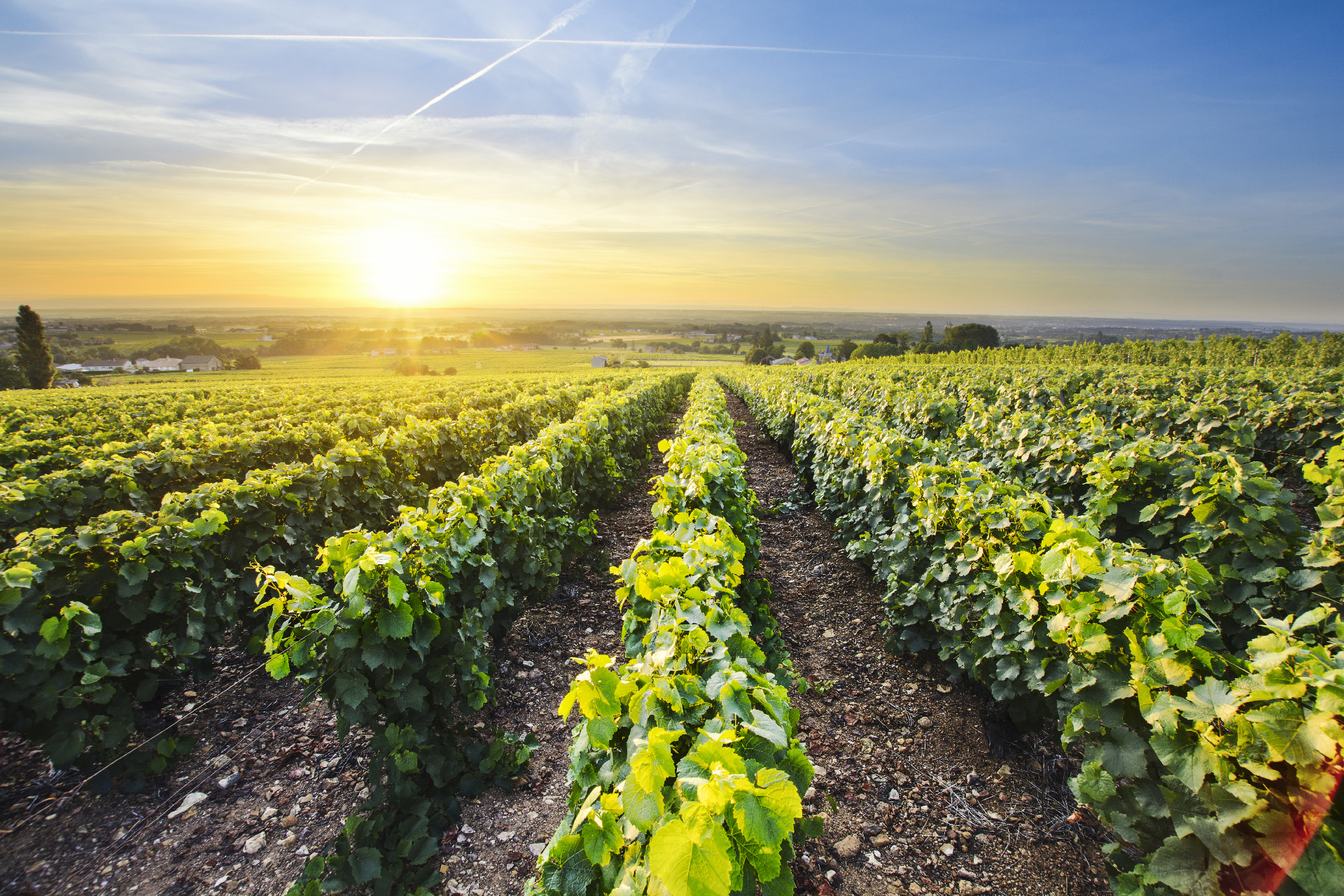 Vineyards of Beaujolais South of France