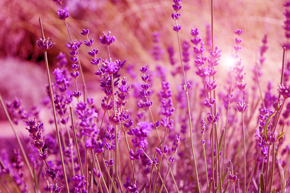 Purple field flowers background. lavender flowers also represented at festivals on French Riviera