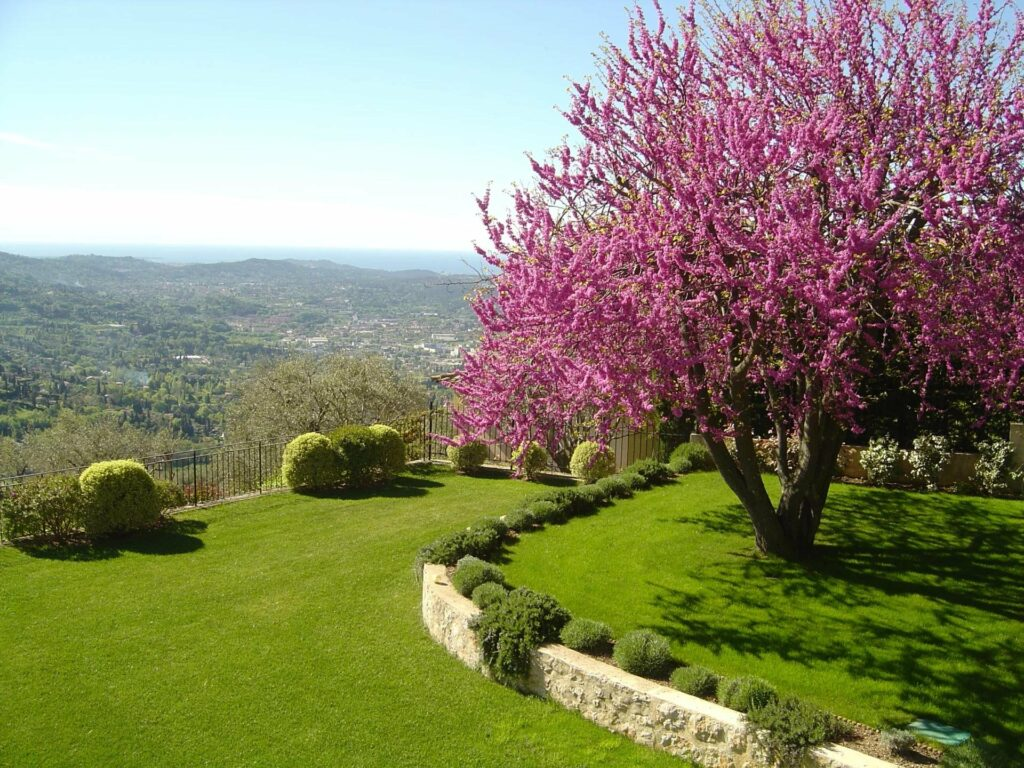 bright healthy green garden with purple flower tree